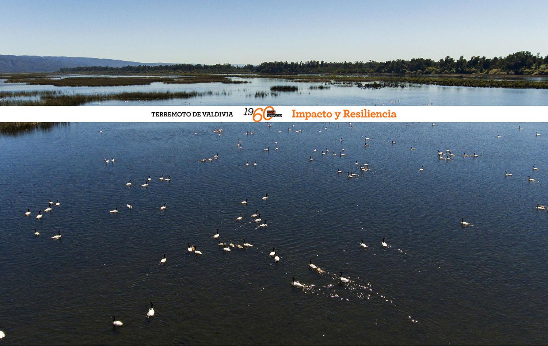 Especial Terremoto de Valdivia 1960   Terremoto, humedales y la gobernanza del futuro de Valdivia